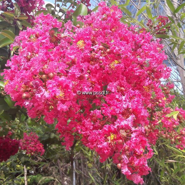 Lagerstroemia indica \'Rose Indien\' ® C15L tige d\'1m