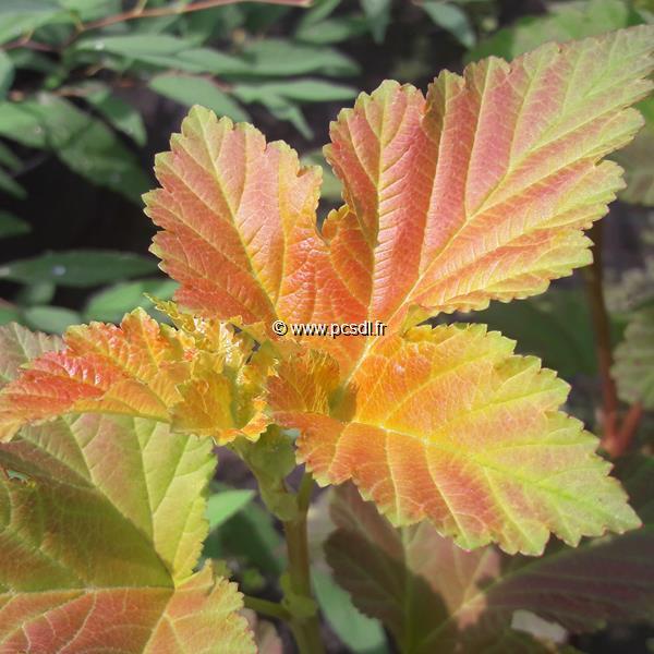 Physocarpus opulifolius \'Amber Jubilée\' ® C4L 40/60