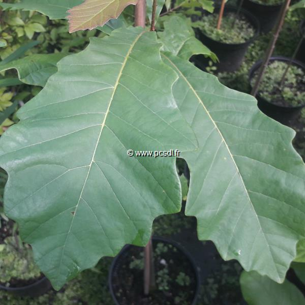 Quercus bicolor C4L 80/100