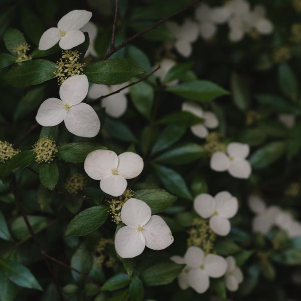 Hydrangea luteovenosa C4L 30/40