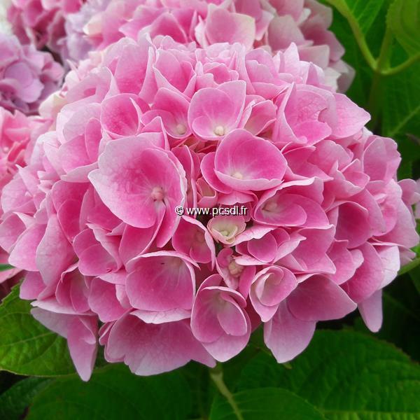Hydrangea macrophylla (ville de Chine) \'Datong\' ® C4L 20/40