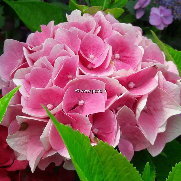 Hydrangea macrophylla (ville de Chine) \'Ankong\' ® C4L 20/40