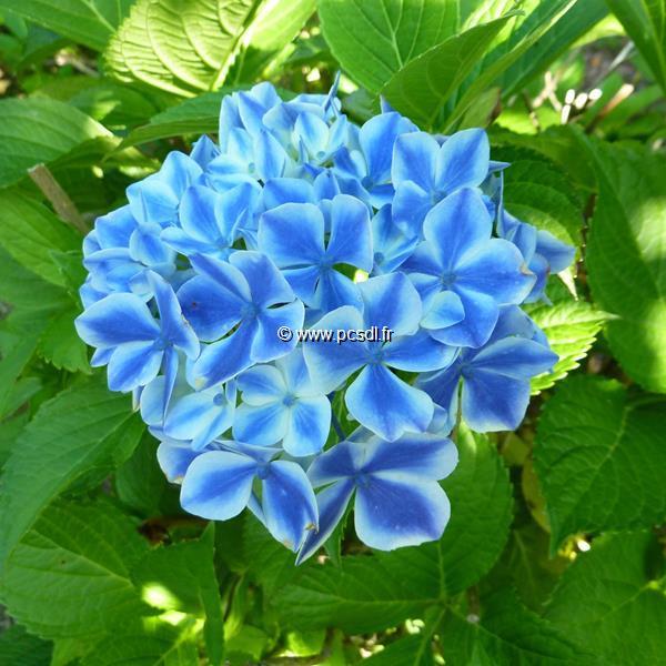 Hydrangea macrophylla \'Frau Katsuko\' 20/40 C4L