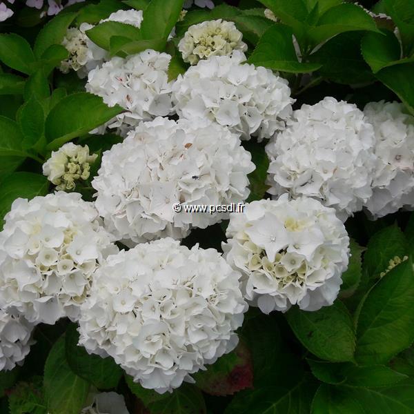 Hydrangea macrophylla \'White Bouquet\' C4L 20/40