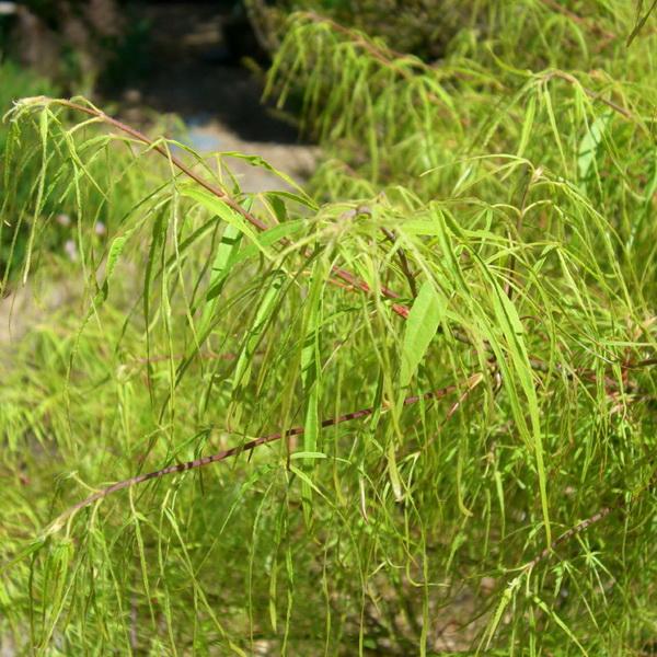 Acer palmatum \'Koto-no-ito\' C5L 60/80