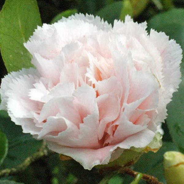 Camellia japonica \'Hawaï\' C3L 30/40