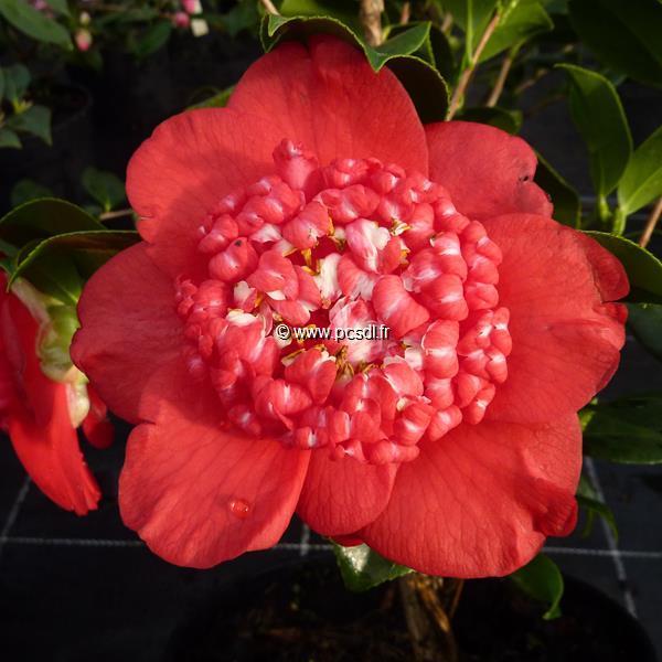 Camellia japonica \'Bob\'s Tinsie\' C5L 80/100