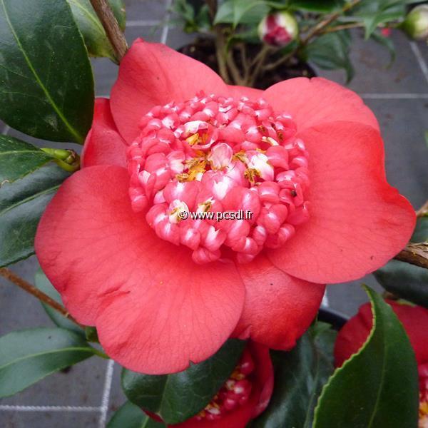 Camellia japonica \'Bob\'s Tinsie\' C3L 30/40