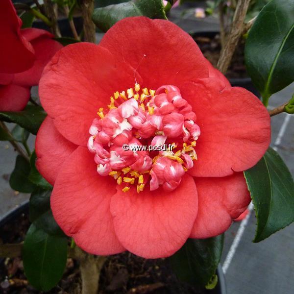 Camellia japonica \'Bob\'s Tinsie\' C4L 40/60