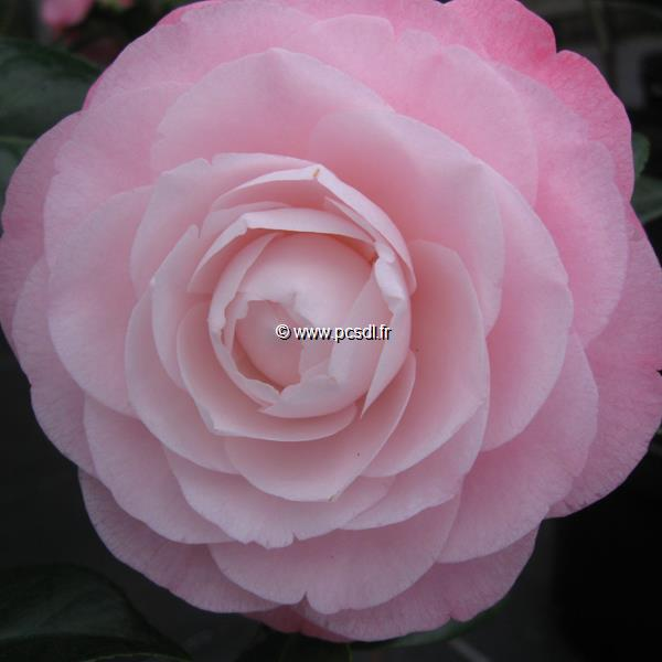 Camellia japonica \'Désire\'