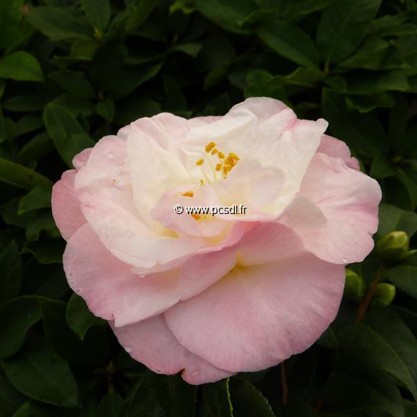 Camellia japonica \'Dr. Tinsley\' C2L 30/40