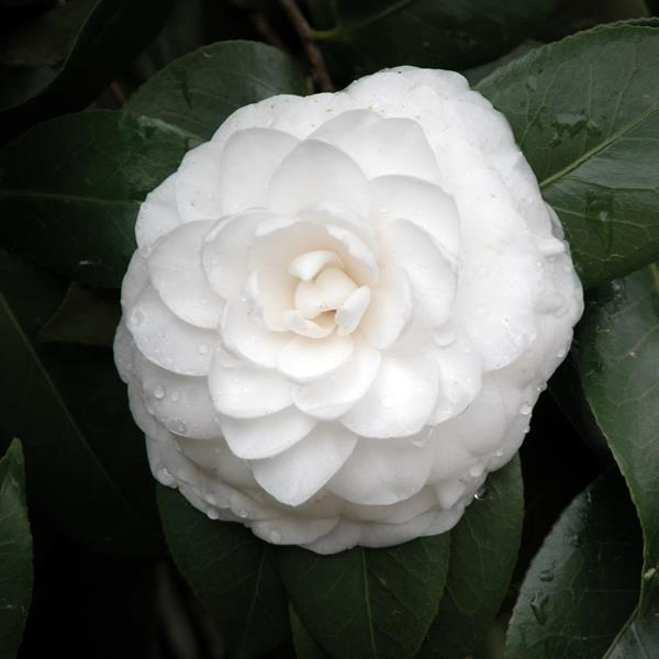 Camellia japonica \'Nuccio\'s Gem\' C4L 40/60