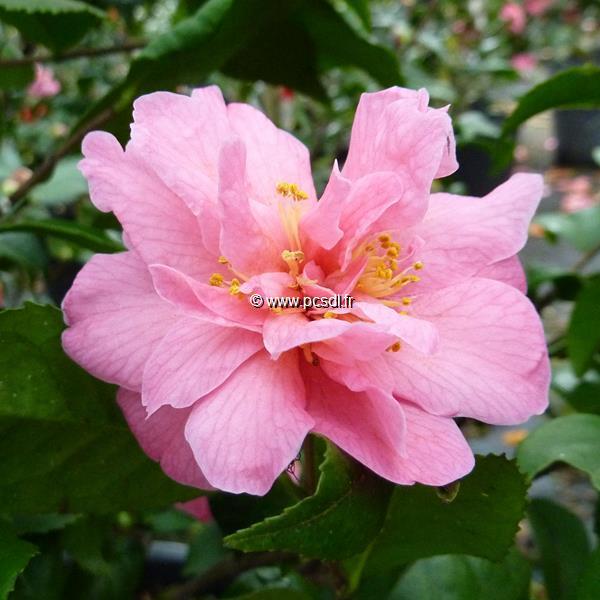 Camellia x \'Fragrant Pink\' C3L 20/30