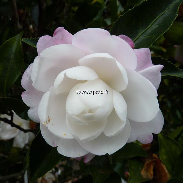 Camellia sasanqua \'Kogyoku\'