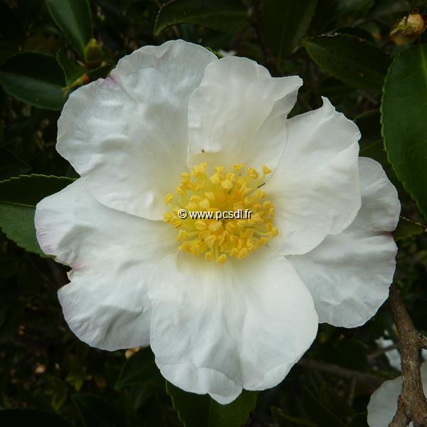 Camellia sasanqua \'Orcival\' C30L 175/200