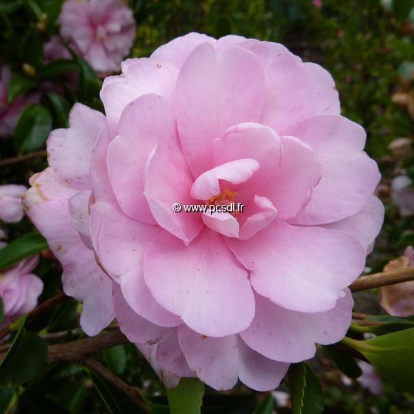 Camellia sasanqua \'Pink Pearl\' C10L 60/80