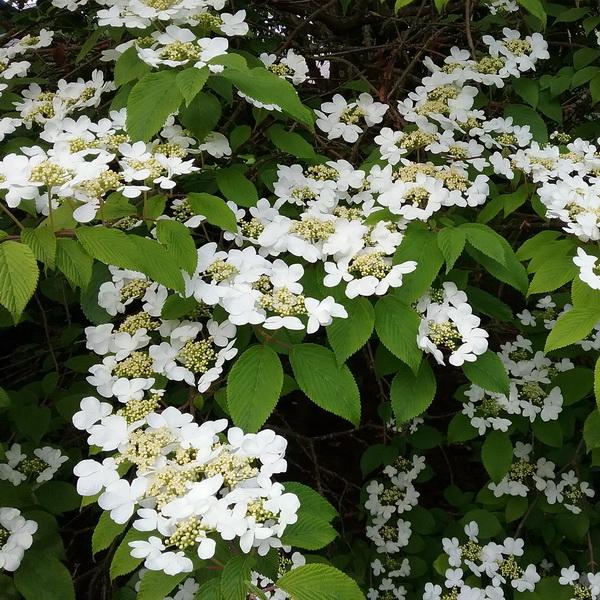 Viburnum plicatum \'Cascade\' C30L 125/150