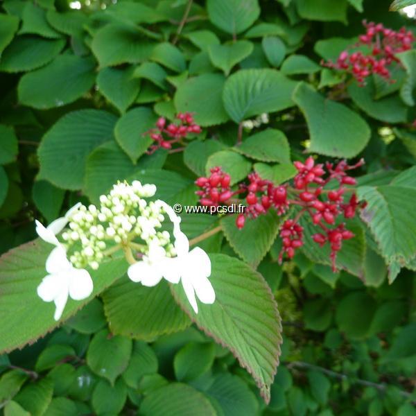 Viburnum plicatum \'Dart\'s Red Robin\' C4L 40/60