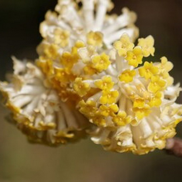 Edgeworthia chrysantha \'Winter Liebe\' C5L 40/60