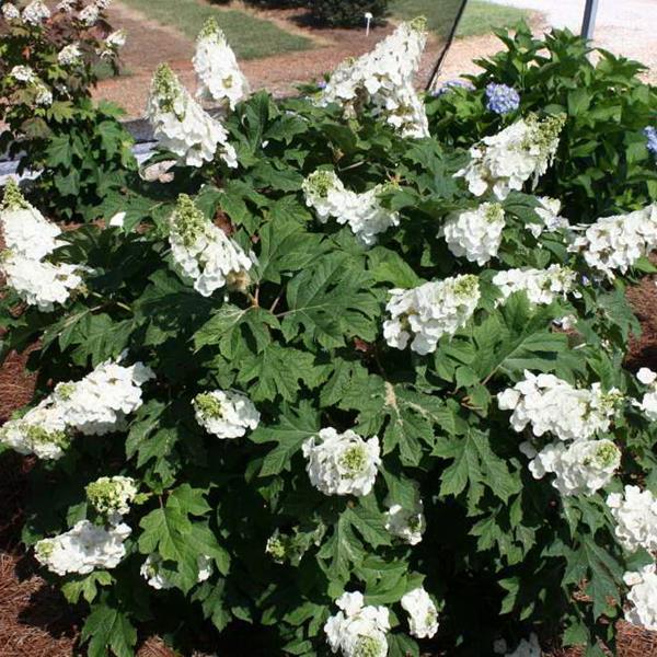 Hydrangea quercifolia \'Jetstream\' ® C4L 30/40