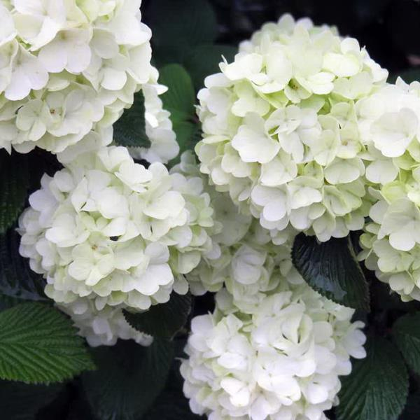 Viburnum plicatum \'Opening Day\' ® C7L 60/80