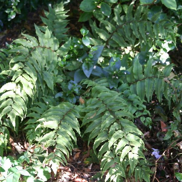 Cyrtomium fortunei C3L