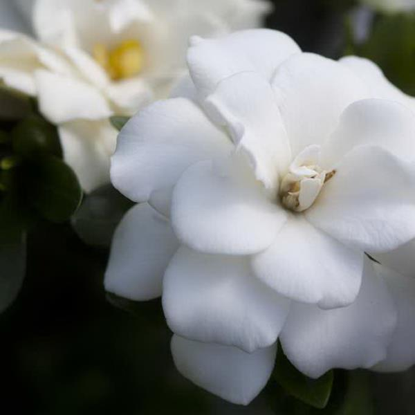 Gardenia jasminoides \'Double Mint\' ® C4L 20/25