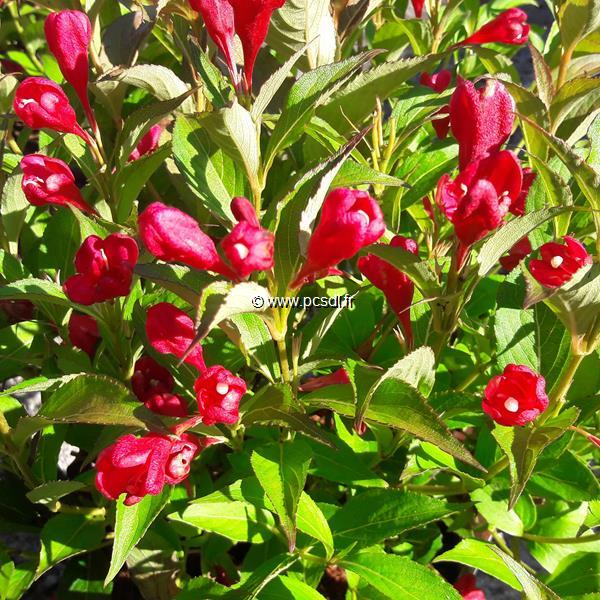 Weigela \'All Summer Red\' ® C4L 30/40
