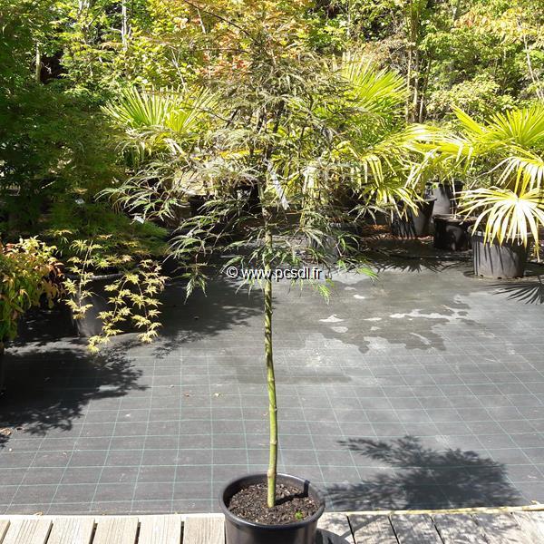Acer palmatum \'Dissectum Tamukeyama\' tige