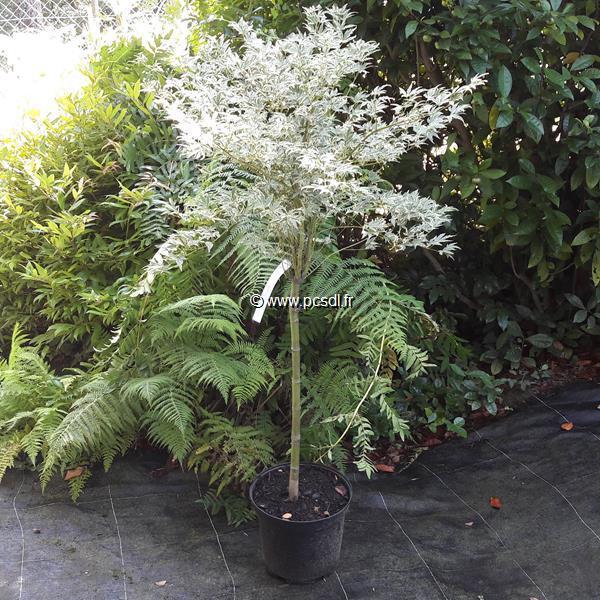 Acer palmatum \'Roseo Marginatum\' C15L tige 50cm