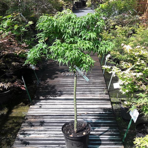 Acer palmatum \'Sharp\'s Pygmy\' C7L tige de 45 cm