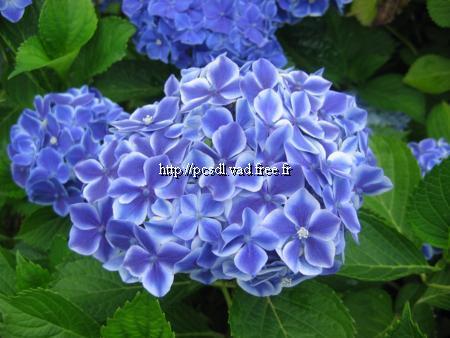 Hydrangea macrophylla \'Frau Fujiyo\' C4L 20/40