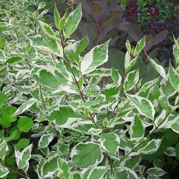 Cornus alba \'Elegantissima\' C4L 40/60