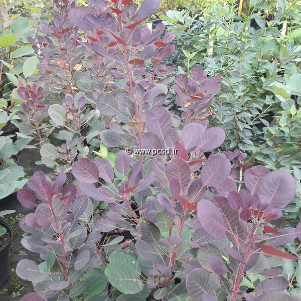Cotinus coggygria \'Lilla\' ® C4L 40/50
