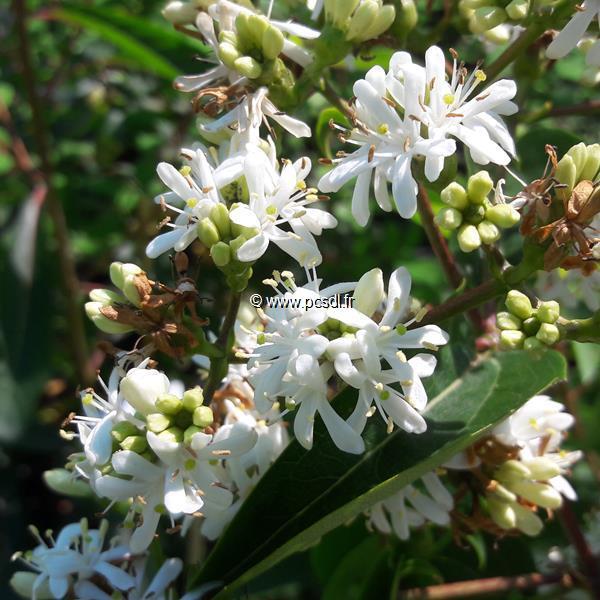 Heptacodium miconioides \'Tianshan\' ® C4L 60/80