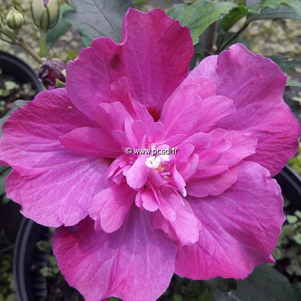 Hibiscus syriacus \'Purple Ruffles\' ® C4L 40/60