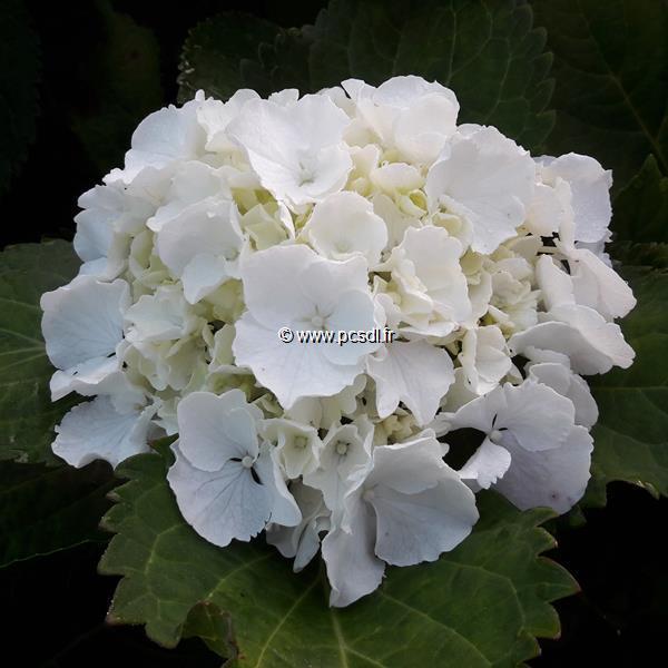 Hydrangea macrophylla \'Neuf\' C4L 20/40