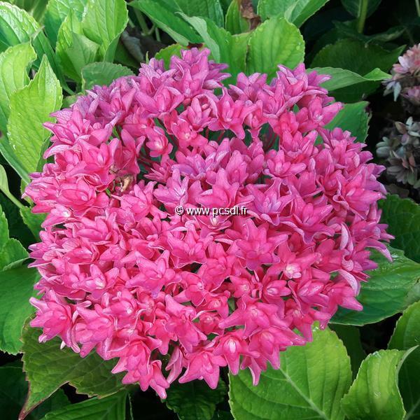 Hydrangea macrophylla (you&me) \'Princess Diana\' ® C4L 20/40