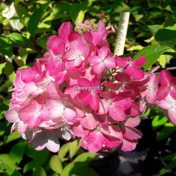 Hydrangea paniculata \'Fraise Melba\' ® C4L 40/50