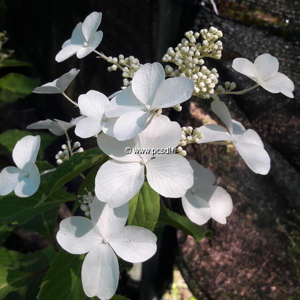 Hydrangea paniculata \'Levana\' ® C4L 40/50