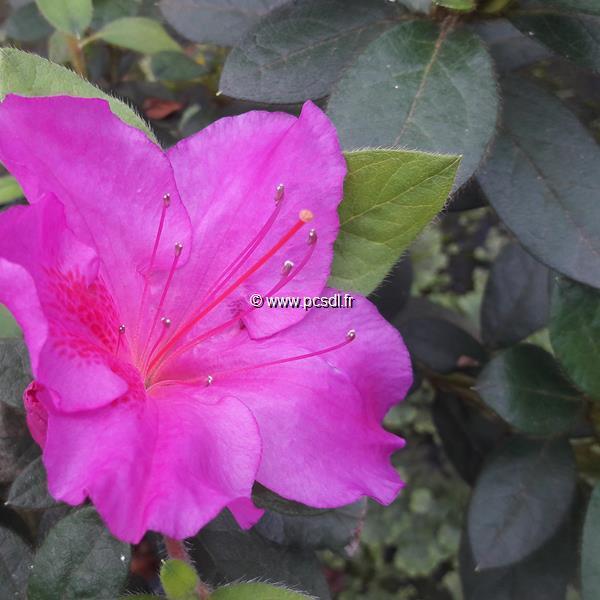 Rhododendron (azalée persistante) \'Encore Twist\' ® violet C3L 20/30