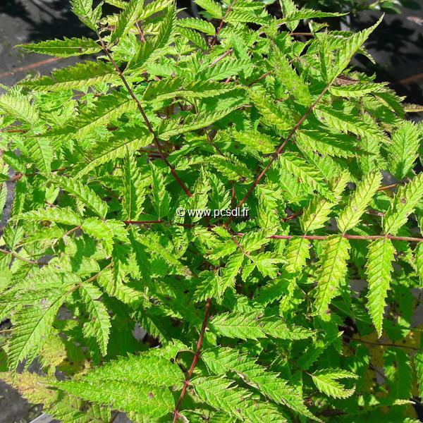 Sorbaria sorbifolia \'Matcha Ball\' ® C4L 30/40