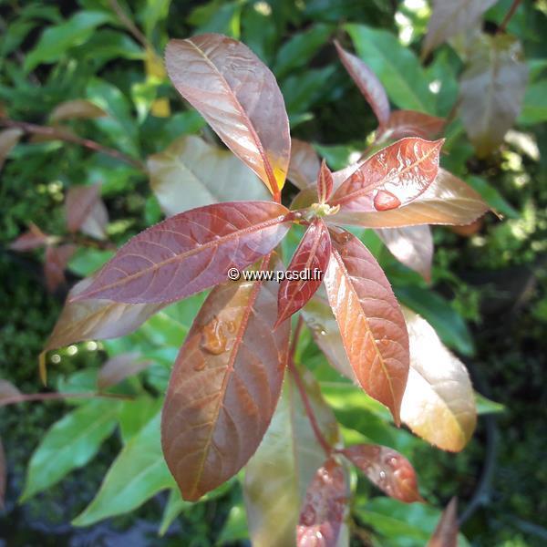 Huodendron biaristatum C4L 40/60