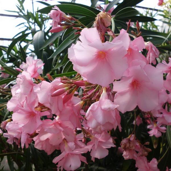 Nerium oleander \'Mme Allen\' C4L 30/40
