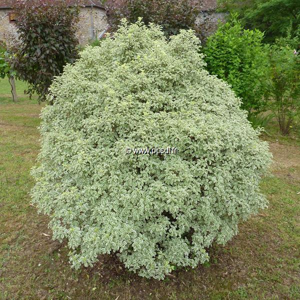 Pittosporum tenuifolium \'Variegatum\' C10L 40/60