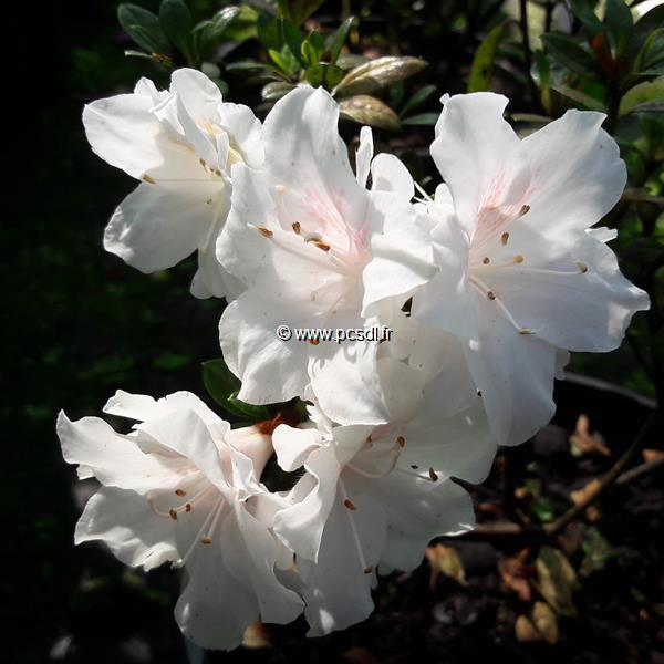 Rhododendron (azalée persistante) \'Darius\' C3L 20/30