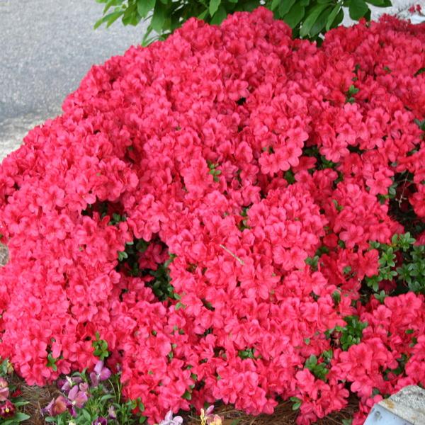 Rhododendron (azalée persistante) \'Fête des Mères\' C30L 60/80