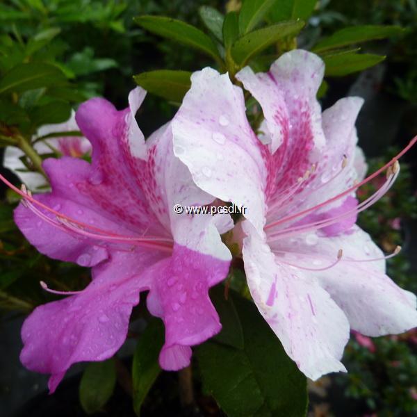 Rhododendron (azalée persistante) \'Encore Twist\' ® mélange C3L 20/30