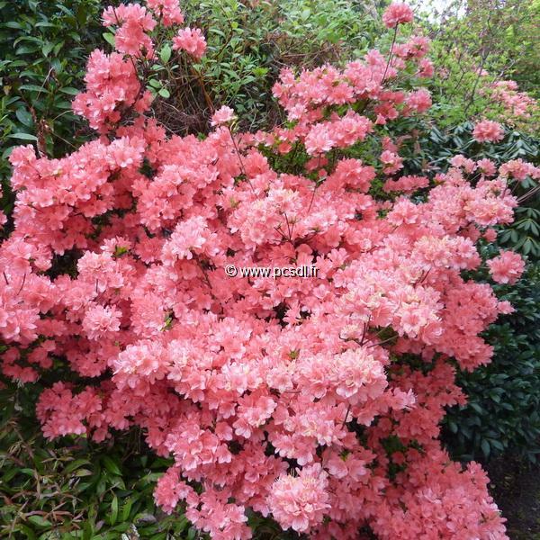 Rhododendron (azalée persistante) \'Rex\' C3L 20/30