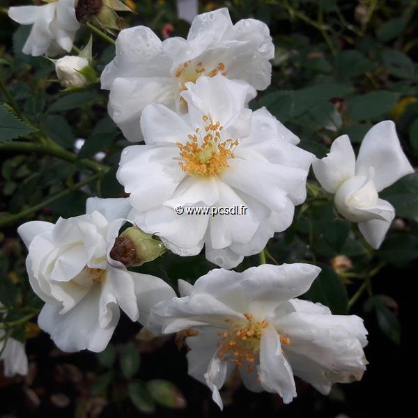 Rosa \'Innocencia\' ® C4L 30/40